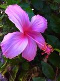 Ρόδινη φυσική φωτογραφία λουλουδιών Στοκ Εικόνες