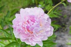 Ρόδινη peony συζήτηση ` μαξιλαριών ` στον κήπο Υβριδοποιημένος από το Γ γ Klehm ΗΠΑ Στοκ φωτογραφίες με δικαίωμα ελεύθερης χρήσης