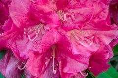 Ρόδινη Rhododendron δέσμη λουλουδιών Στοκ εικόνα με δικαίωμα ελεύθερης χρήσης