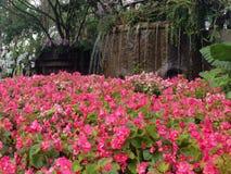 Ρόδινοι κήποι λουλουδιών με τους καταρράκτες Στοκ Φωτογραφία