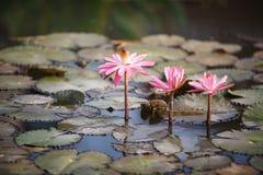 Ρόδινοι κρίνοι νερού - Nymphaeaceae στοκ φωτογραφία με δικαίωμα ελεύθερης χρήσης