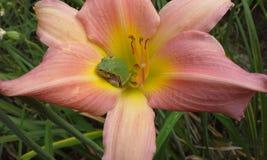 Ρόδινοι κρίνος και Treefrog οριζόντιοι στοκ φωτογραφίες