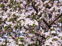 Ρόδινοι λουλούδια και οφθαλμοί ενός δέντρου της Apple Οι ανθίζοντας κήποι μπορούν μέσα Στοκ φωτογραφία με δικαίωμα ελεύθερης χρήσης