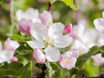 Ρόδινοι λουλούδια και οφθαλμοί ενός δέντρου της Apple Οι ανθίζοντας κήποι μπορούν μέσα Στοκ Εικόνα