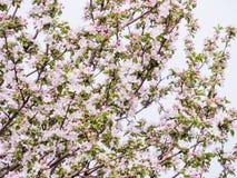 Ρόδινοι λουλούδια και οφθαλμοί ενός δέντρου της Apple Οι ανθίζοντας κήποι μπορούν μέσα Στοκ Φωτογραφία