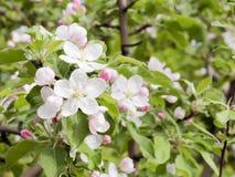 Ρόδινοι λουλούδια και οφθαλμοί ενός δέντρου της Apple Οι ανθίζοντας κήποι μπορούν μέσα Στοκ φωτογραφίες με δικαίωμα ελεύθερης χρήσης