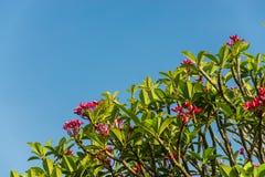Ρόδινοι λουλούδι και μπλε ουρανός Στοκ Εικόνα