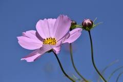 Ρόδινοι λουλούδι και οφθαλμοί και μπλε ουρανός στοκ φωτογραφία με δικαίωμα ελεύθερης χρήσης