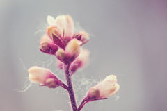 Ρόδινοι οφθαλμοί λουλουδιών άνοιξη Στοκ Εικόνες