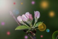Ρόδινοι οφθαλμοί της Apple στον κλάδο Στοκ Εικόνες