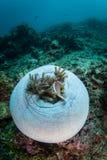 Ρόδινοι Anemonefish και οικοδεσπότης Anemone Στοκ Φωτογραφίες