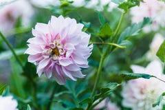 Ρόδινος-άσπρο λουλούδι Στοκ Εικόνα