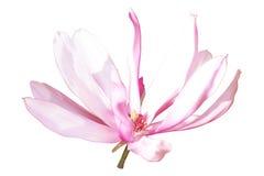 Ρόδινος-άσπρο λουλούδι magnolia ελεύθερη απεικόνιση δικαιώματος