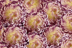 Ρόδινος-άσπρο χρυσάνθεμο λουλουδιών Κινηματογράφηση σε πρώτο πλάνο  floral κολάζ Ετερόκλητη σύνθεση λουλουδιών διανυσματική απεικόνιση