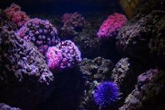 Ρόδινος δίσκος anemones και αχινοί Στοκ Φωτογραφία