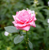 Ρόδινος αυξήθηκε ανθίζοντας στον κήπο Στοκ Εικόνες