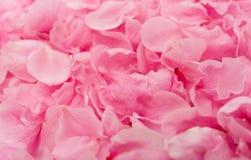 Ρόδινος αυξήθηκε λεπτά πέταλα λουλουδιών Στοκ Εικόνες