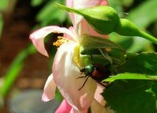 Ρόδινος αυξήθηκε και αυξήθηκε οφθαλμός στην ιαπωνική σίτιση κανθάρων ήλιων πρωινού στην κηπουρική τοπίων κήπων Στοκ Εικόνες