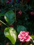 Ρόδινος αυξήθηκε και πράσινα φύλλα Στοκ Εικόνα