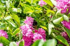 Ρόδινος αυξήθηκε και bumble-bee Στοκ εικόνα με δικαίωμα ελεύθερης χρήσης