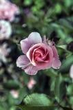Ρόδινος αυξήθηκε κινηματογράφηση σε πρώτο πλάνο λουλουδιών Στοκ φωτογραφία με δικαίωμα ελεύθερης χρήσης
