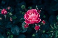Ρόδινος αυξήθηκε με τα σκούρο πράσινο φύλλα αυξανόμενος στη φυτεία με τριανταφυλλιές Στοκ Φωτογραφίες