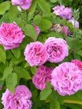 Ρόδινος αυξήθηκε λουλούδια στον κήπο Στοκ Εικόνες