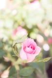 ρόδινος αυξήθηκε λουλούδια στο ρομαντικό άνθος ύφους κήπων εκλεκτής ποιότητας Στοκ Εικόνες