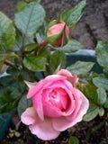 Ρόδινος αυξήθηκε λουλούδι και οφθαλμός Στοκ Εικόνα