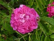 ρόδινος αυξήθηκε λουλούδι στον κήπο Στοκ εικόνες με δικαίωμα ελεύθερης χρήσης