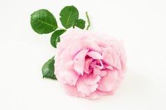 Ρόδινος αυξήθηκε λουλούδι στο άσπρο υπόβαθρο λεπτομερές ανασκόπηση floral διάνυσμα σχεδίων Στοκ φωτογραφία με δικαίωμα ελεύθερης χρήσης