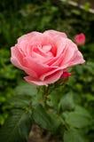 Ρόδινος αυξήθηκε στη φύση κήπων Στοκ φωτογραφία με δικαίωμα ελεύθερης χρήσης