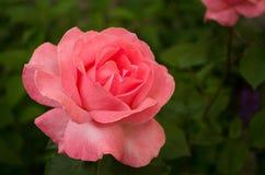 Ρόδινος αυξήθηκε στη φύση κήπων Στοκ εικόνα με δικαίωμα ελεύθερης χρήσης