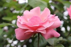 Ρόδινος αυξήθηκε στον κήπο λουλουδιών Petrich στοκ φωτογραφία με δικαίωμα ελεύθερης χρήσης