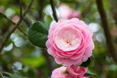 Ρόδινος αυξήθηκε, το όμορφο ρόδινο λουλούδι στο δέντρο Στοκ εικόνα με δικαίωμα ελεύθερης χρήσης