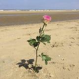 Ρόδινος αυξήθηκε φυτεμμένος στην παραλία Στοκ φωτογραφία με δικαίωμα ελεύθερης χρήσης