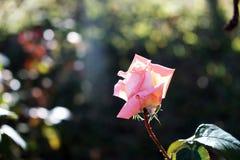 Ρόδινος αυξήθηκε φως λουλουδιών και ήλιων στοκ εικόνα με δικαίωμα ελεύθερης χρήσης