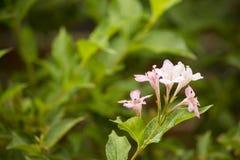 Ρόδινος θάμνος λουλουδιών Στοκ φωτογραφία με δικαίωμα ελεύθερης χρήσης