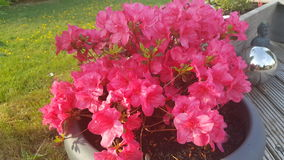 Ρόδινος κήπος λουλουδιών Azalee Στοκ φωτογραφία με δικαίωμα ελεύθερης χρήσης