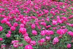 Ρόδινος κήπος τριαντάφυλλων Στοκ Φωτογραφία