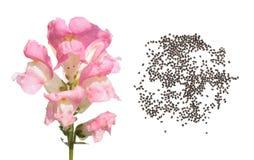 Ρόδινος κήπος snapdragon Λουλούδι και σπόροι στο άσπρο υπόβαθρο Στοκ φωτογραφία με δικαίωμα ελεύθερης χρήσης