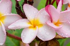 Ρόδινος-κίτρινα λουλούδια plumeria ή frangipani Στοκ Εικόνες