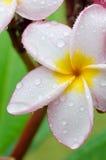 Ρόδινος-κίτρινα λουλούδια plumeria ή frangipani Στοκ Φωτογραφία