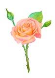 Ρόδινος-κίτρινος αυξήθηκε στο μίσχο με τους οφθαλμούς σε ένα άσπρο υπόβαθρο - ζωγραφική watercolor Στοκ φωτογραφία με δικαίωμα ελεύθερης χρήσης