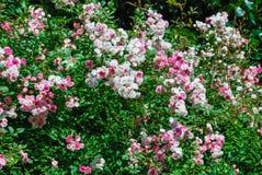 Ρόδινος και whitte τριαντάφυλλα Στοκ Φωτογραφίες