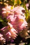 Ρόδινος καταρράκτης λουλουδιών Στοκ Εικόνες