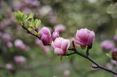 Ρόδινος κλάδος magnolia Στοκ Εικόνα