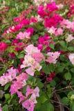 Ρόδινος-σκιασμένα λουλούδια Bougainvillea Στοκ φωτογραφία με δικαίωμα ελεύθερης χρήσης