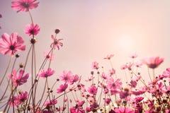 Ρόδινος τόνος του τομέα λουλουδιών κόσμου Στοκ Εικόνα