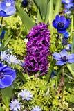 Ρόδινος υάκινθος και μπλε anemones Στοκ φωτογραφία με δικαίωμα ελεύθερης χρήσης